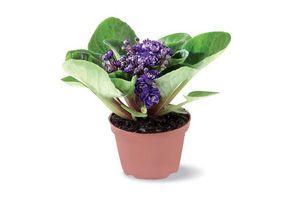 Planta Violeta Africana en Flor en Tienda Inglesa