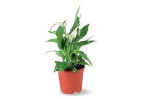 Planta Spatiphylum Mini en Tienda Inglesa
