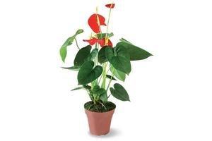 Planta Anturio Mediana en Tienda Inglesa